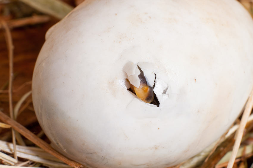 A chick hatching, breaking through the shell with its beak