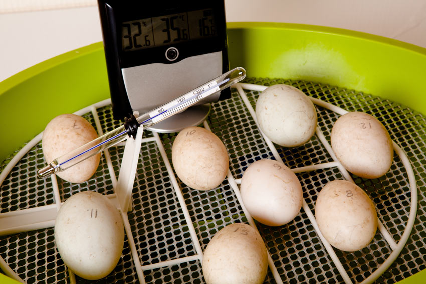 A clutch of fertalised chicken eggs in an incubator